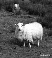 Beara Sheep